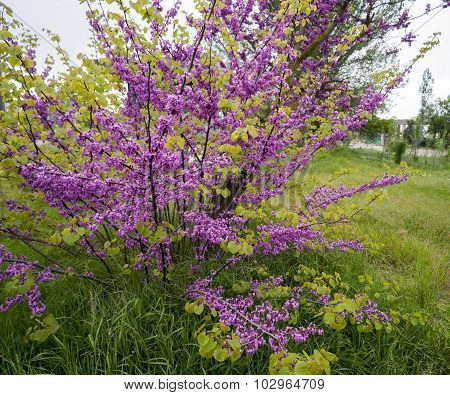 Blooming Bush Of Cercis In Crimea.