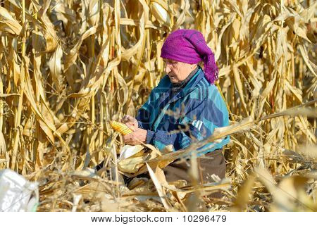 Peasant Woman Harvests Corncobs