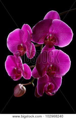 Violet Orchid On A Black Background