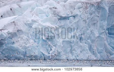 Seagulls feeding near glacier wall â?? Franz Josef Land
