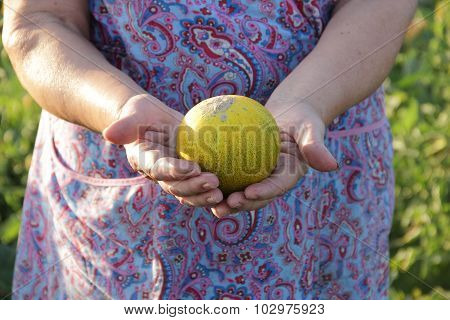 Hands Of The Elderly Woman Hold A Ripe Melon
