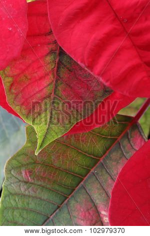 Red And Green Leaf Of Poinsettia Tree