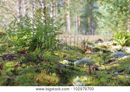 Edible mushroom glade in the forest