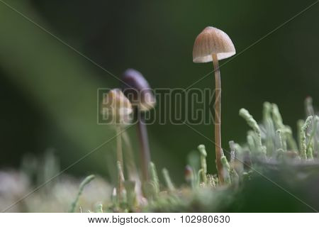Group of small toadstools in moss