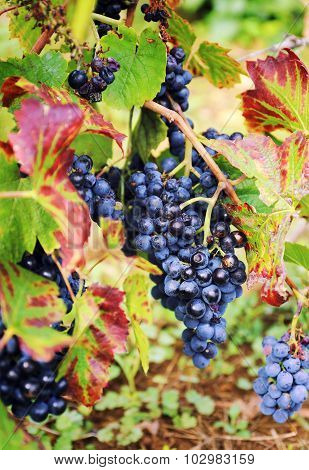 Gamay Wine Grape