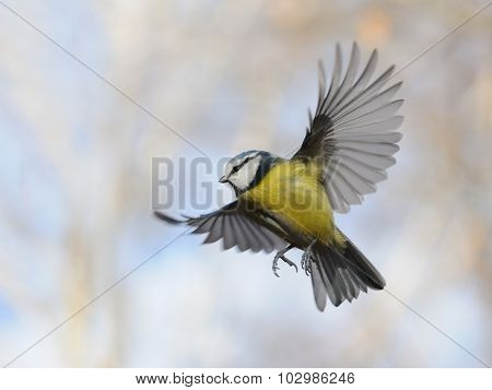 Flying Blue Tit In Autumn