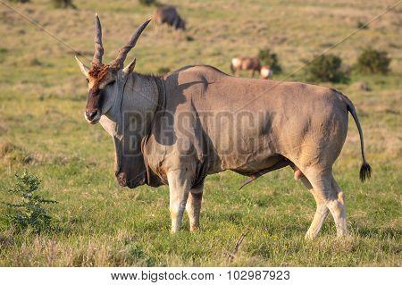 Male Eland Antelope