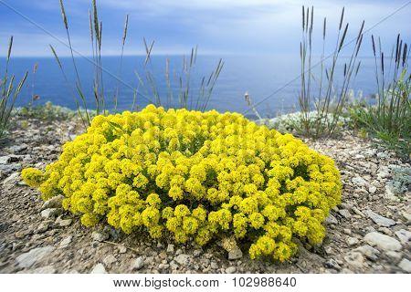 Yellow Flowers Of The Shrub Alyssum.