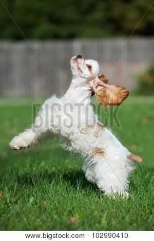 active american cocker spaniel dog