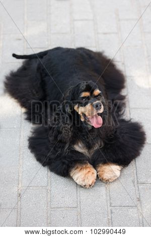 adorable american cocker spaniel dog outdoors