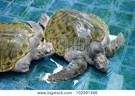 Injure Turtles
