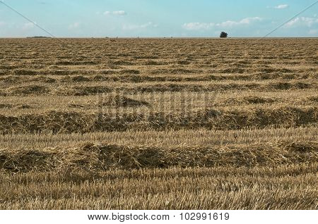 Field Of The Cleaned Wheat.