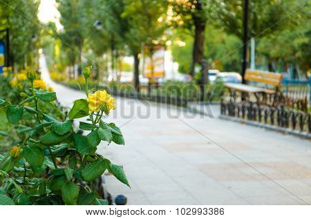 Yellow Roses On The Boulevard On Sunset