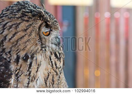 Snobby Owl