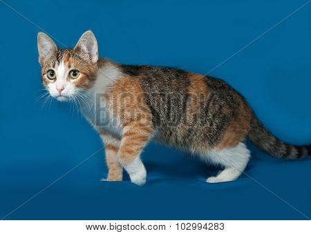 Tricolor Kitten Standing On Blue