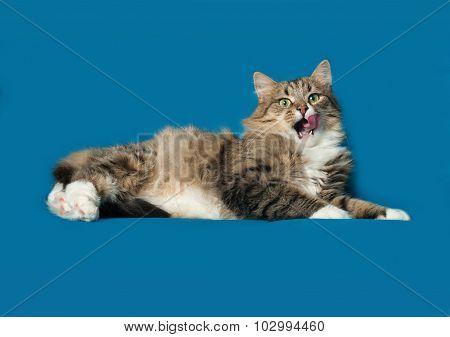 Striped Fluffy Siberian Cat Lies On Blue