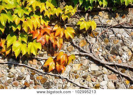 Beautiful Ivy Parthenocissus quinquefolia.
