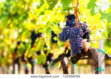 Closeup of bunch of red grapes