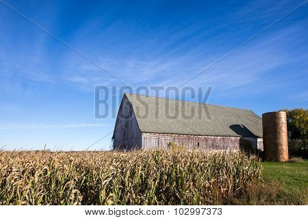 Weathered Barn Behind A Field Of Corn With Blue Sky