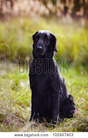 Black Retriever Sits Amid Tall Grass In Autumn