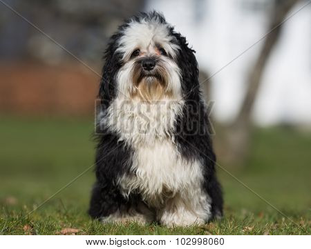 Havanese Dog Outdoors In Nature