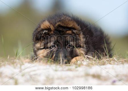 German Shepherd Puppy Dog Outdoors In Nature