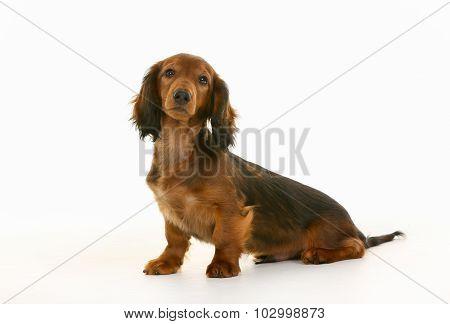 Longhaired Dachshund Dog
