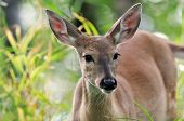 stock photo of black tail deer  - White Tail Deer Doe standing in green grass - JPG