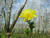foto of adonis  - Flower of adonis - JPG