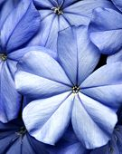 stock photo of violet flower  - Blue flowers of the Florida Plumbago plant - JPG