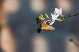 image of moth  - Hummingbird Hawk-moth is being fed from flower in the nature
