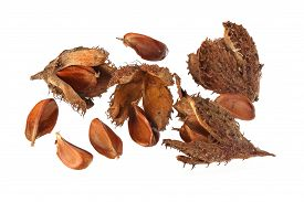 image of beechnut  - Beechnuts and husks on a plain white background - JPG