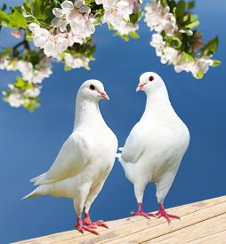 stock photo of pigeon  - two white pigeon on flowering background  - JPG