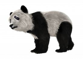 image of panda bear  - 3D digital render of a panda bear cub isolated on white background - JPG