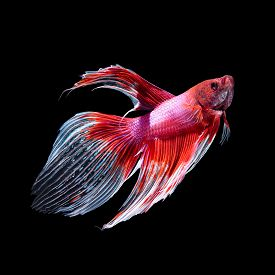 pic of butterfly fish  - Red siamese fighting fish betta fish butterfly tail profile on black background - JPG