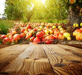 foto of orchard  - autumn apple orchard background  - JPG
