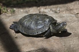 foto of terrapin turtle  - European pond turtle  - JPG