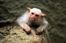 stock photo of marmosets  - Silvery marmoset  - JPG