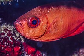 picture of bigeye  - Priacanthidae the bigeyes are a family of 18 species of marine fishes - JPG