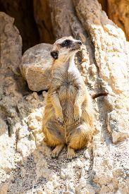 foto of meerkats  - funny meerkat sitting on a rock in the zoo - JPG