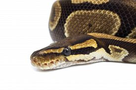 stock photo of pythons  - Ball Python  - JPG