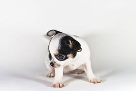 pic of chiwawa  - Cute Puppy short hair Chiwawa in White background - JPG