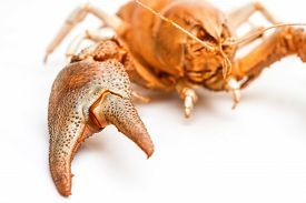 stock photo of cooked crab  - A cooked lobster crab isolated on white background - JPG