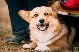 pic of corgi  - Close up portrait of young Happy Welsh Corgi dog in dry grass outdoor - JPG
