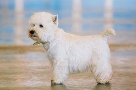 image of westie  - West Highland White Terrier - JPG