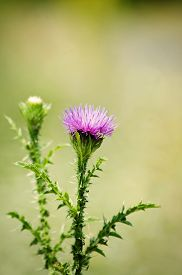 picture of scottish thistle  - Photo of Thistle Flower Over Natural Green Background - JPG