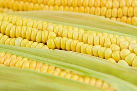 image of corn cob close-up  - fresh ripe corn cobs macro, close up ** Note: Shallow depth of field - JPG
