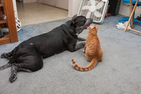 picture of pal  - Mixed breed Pitbull and Tabby kitten are pals - JPG