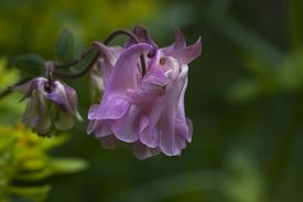 pic of columbine  - a double pink columbine or aquilegia in latin - JPG