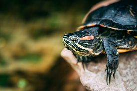 image of terrapin turtle  - Small Red - JPG